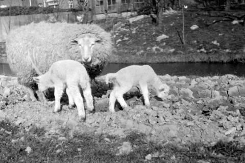 ARH NL Dierssen 0102/0024, Schaf mit Lämmern, um 1945