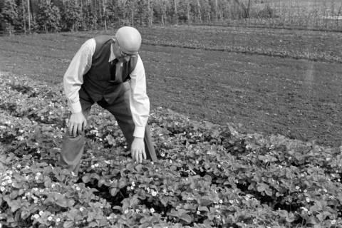 ARH NL Dierssen 0104/0009, Vater von Dierssen im Erdbeerfeld, zwischen 1946/1947