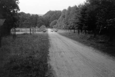 ARH NL Dierssen 0105/0001, Wildwechsel im Saupark, zwischen 1946/1947