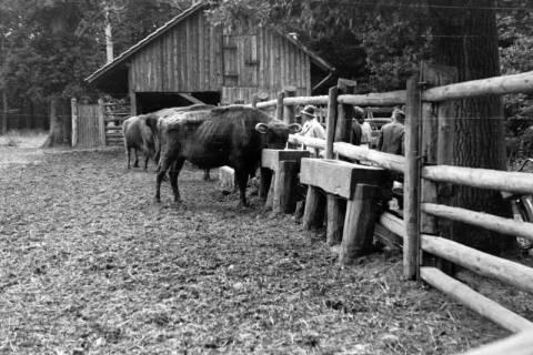 ARH NL Dierssen 0106/0008, Wisente, zwischen 1946/1947