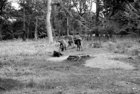 ARH NL Dierssen 0106/0010, Wisente, zwischen 1946/1947