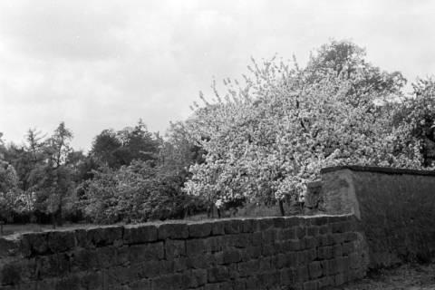ARH NL Dierssen 0117/0012, Baumblüte Landratsamt, 1948