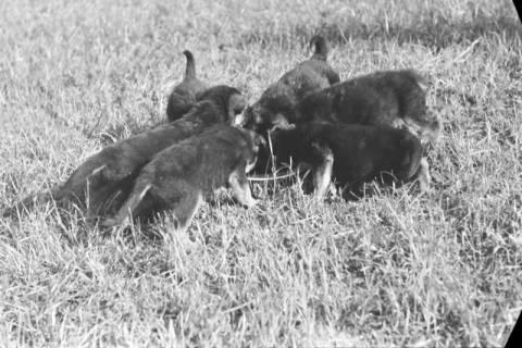 ARH NL Dierssen 0121/0006, Junge Hunde, 1948