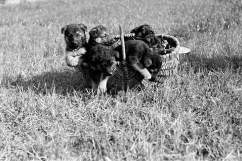 ARH NL Dierssen 0121/0008, Junge Hunde, 1948