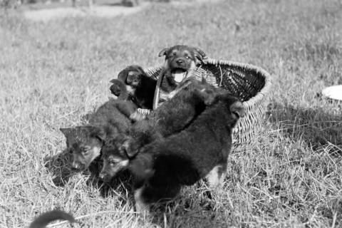 ARH NL Dierssen 0121/0009, Junge Hunde, 1948