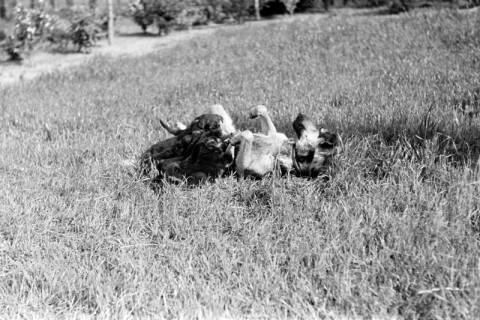 ARH NL Dierssen 0121/0010, Junge Hunde, 1948
