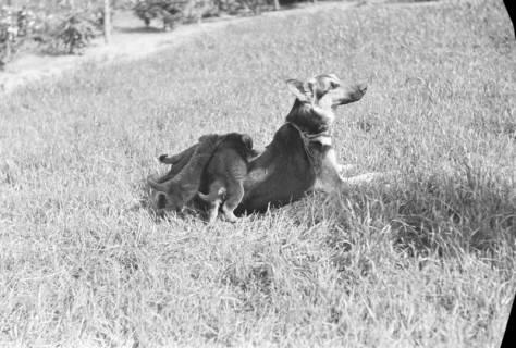 ARH NL Dierssen 0121/0011, Junge Hunde, 1948