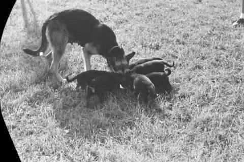 ARH NL Dierssen 0121/0012, Junge Hunde, 1948
