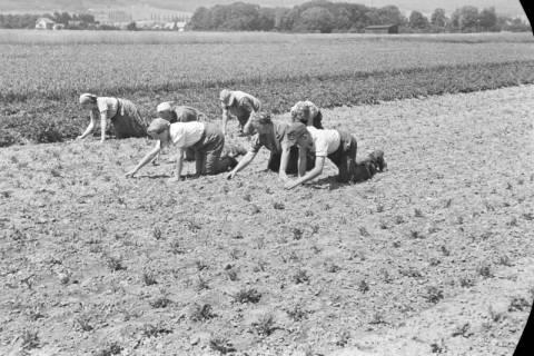 ARH NL Dierssen 0121/0017, Rüben verziehen bei Beine, 1948