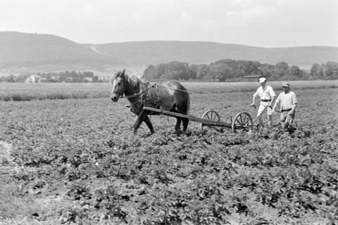 ARH NL Dierssen 0121/0019, Kartoffeln häufeln bei Pape, 1948