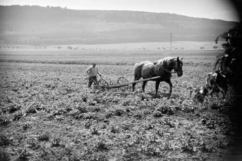 ARH NL Dierssen 0121/0022, Kartoffeln häufeln bei Pape, 1948