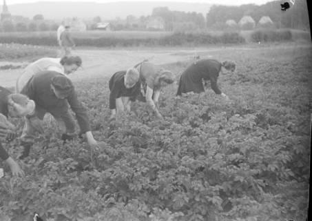 ARH NL Dierssen 0122/0023, Kartoffelkäfer Bekämpfung, 1948