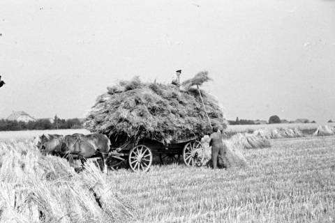 ARH NL Dierssen 0124/0015, Getreidernte, 1948