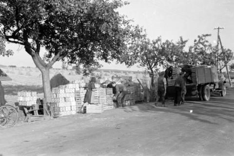 ARH NL Dierssen 0126/0016, Ernte von Straßenobst, 1948