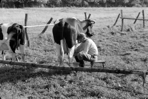 ARH NL Dierssen 0127/0006, Melker auf der Weide, 1948