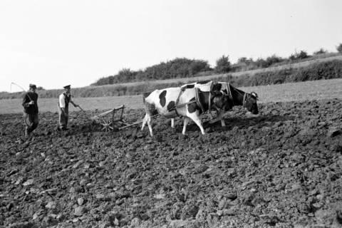 ARH NL Dierssen 0128/0014, Dehsen? beim Pflügen, 1948