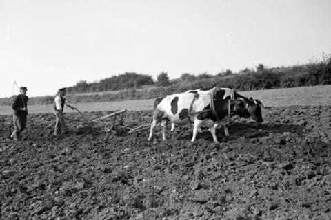 ARH NL Dierssen 0128/0015, Dehsen? beim Pflügen, 1948