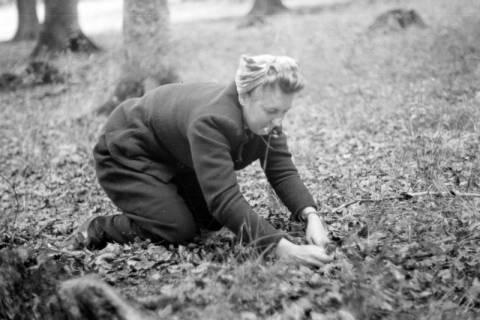 ARH NL Dierssen 0131/0014, Sammeln von Bucheckern, 1948