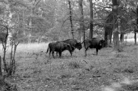 ARH NL Dierssen 0132/0011, Wisente, Spinge, 1948