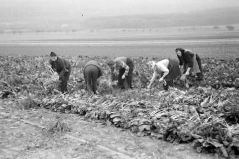 ARH NL Dierssen 0133/0004, Rübenernte, 1948