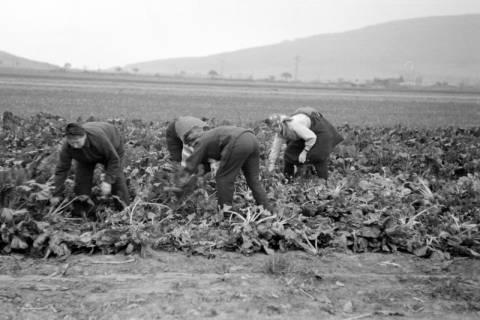 ARH NL Dierssen 0133/0005, Rübenernte, 1948