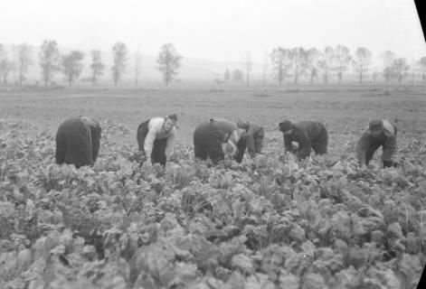 ARH NL Dierssen 0133/0006, Rübenernte, 1948
