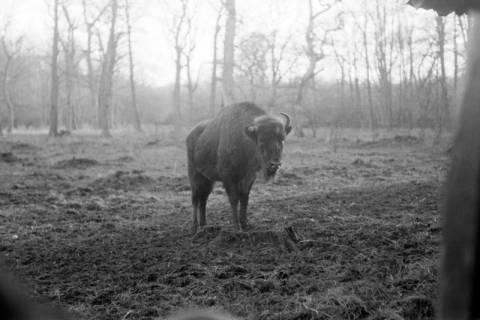 ARH NL Dierssen 0135/0018, Wisente, Springe, 1948