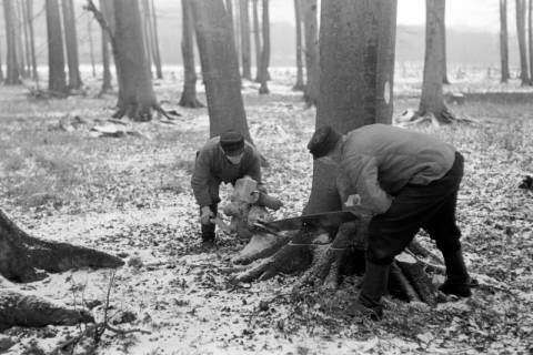 ARH NL Dierssen 0141/0002, Holzfäller im Saupark, 1949