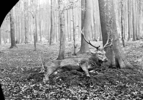 ARH NL Dierssen 0143/0014, Erlegter Hirsch, Springe, um 1949