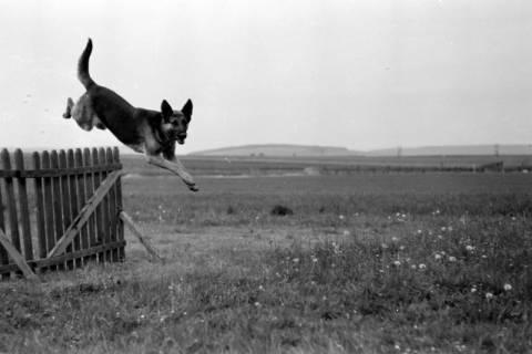 ARH NL Dierssen 0153/0002, Hundeschule, 1949