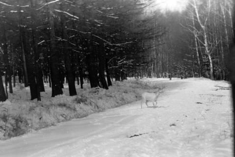 ARH NL Dierssen 0153/0020, Reh im Schnee, Springe, 1949