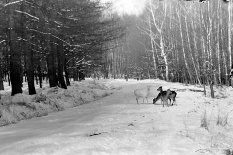 ARH NL Dierssen 0153/0021, Rehe im Schnee, Springe, 1949