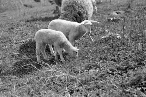 ARH NL Dierssen 0156/0015, Osterlämmchen, 1949