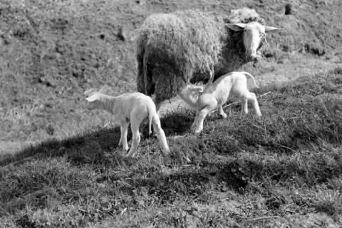 ARH NL Dierssen 0157/0020, Osterlämmchen, 1949