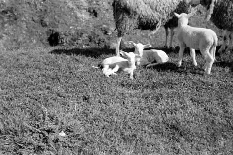 ARH NL Dierssen 0157/0022, Osterlämmchen, 1949