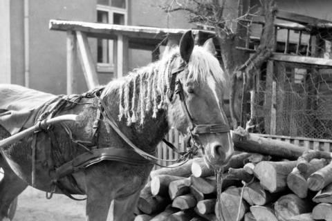 ARH NL Dierssen 0162/0004, Pferd mit Zöpfen, 1949