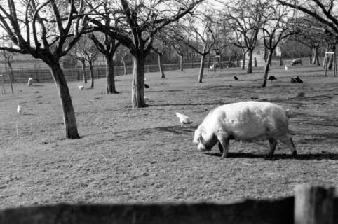 ARH NL Dierssen 0164/0001, Schwein, 1949
