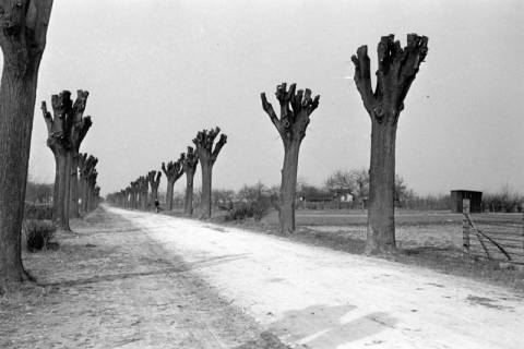 ARH NL Dierssen 0164/0018, Bäume, 1949