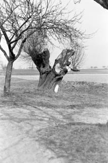 ARH NL Dierssen 0164/0019, Bäume, 1949