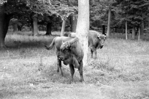 ARH NL Dierssen 0171/0007, Wisente, 1949