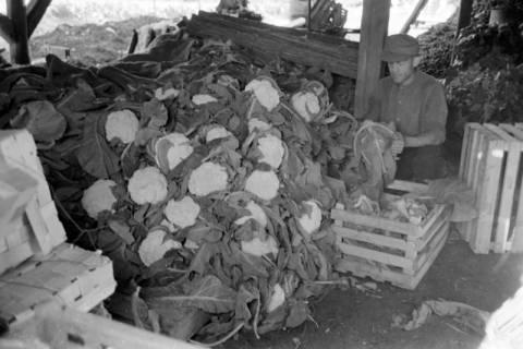 ARH NL Dierssen 0171/0012, Blumenkohl bei Salow, 1949