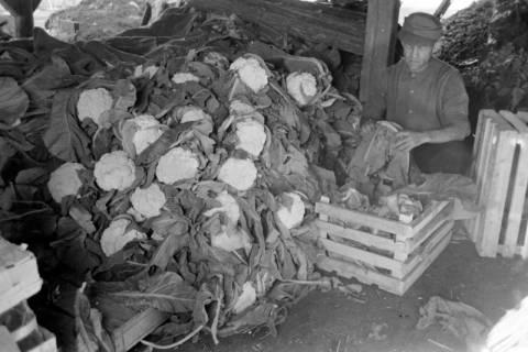 ARH NL Dierssen 0171/0013, Blumenkohl bei Salow, 1949