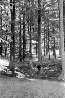 ARH NL Dierssen 0173/0008, Buchen im Saupark, 1949