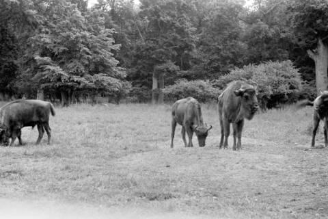ARH NL Dierssen 0173/0010, Wisente im Saupark, 1949