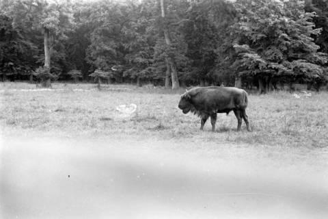 ARH NL Dierssen 0173/0011, Wisent im Saupark, 1949