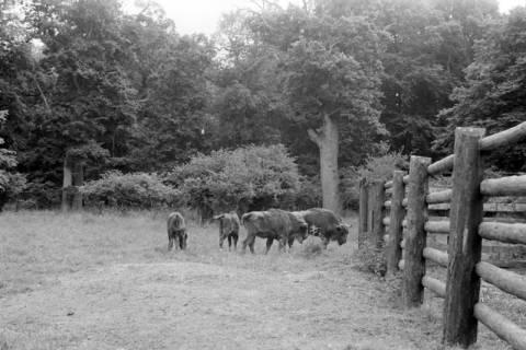 ARH NL Dierssen 0173/0012, Wisente im Saupark, 1949