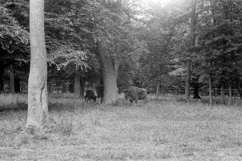 ARH NL Dierssen 0173/0013, Wisente im Saupark, 1949