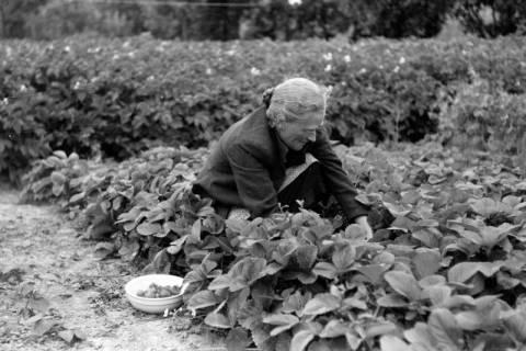 ARH NL Dierssen 0175/0029, Alte Frau pflückt Erdbeeren, 1949