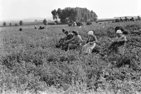 ARH NL Dierssen 0185/0007, Erbsenpflücker, 1949