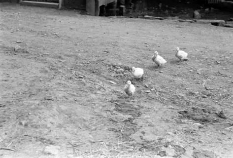 ARH NL Dierssen 0185/0016, Enten , 1949